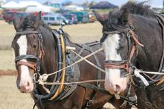 Shire horses ploughing. Shire horses in harness ploughing a field Royalty Free Stock Photo
