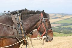 Shire Horses ploughing. Shire horses in harness plowing a field Stock Images