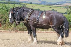 Shire Horses ploughing. Shire horses in harness plowing a field Royalty Free Stock Photos