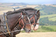 Shire horses in harness. Shire horses ploughing a field Royalty Free Stock Photos