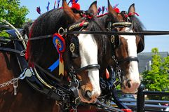 Shire horses with headgear. Royalty Free Stock Photo