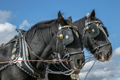 Shire horses heads at show. Shire plough horses ploughing at show or ploughing match heads with bridals and brass on Royalty Free Stock Photo