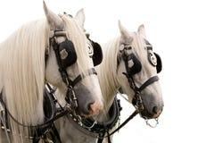 Shire Horses Isolated Royalty Free Stock Photo