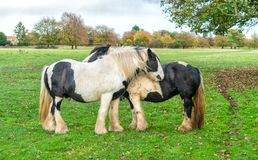 Shire horses on Minchinhampton Common; The Cotswolds; G royalty free stock images