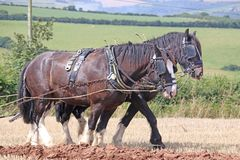 Shire horses ploughing. A field after harvest Royalty Free Stock Photos