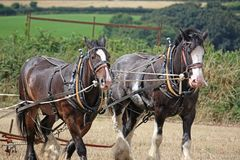 Shire Horses ploughing Stock Photos