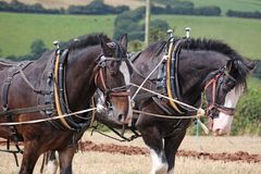 Shire Horses ploughing. Shire horses in harness ploughing a field Royalty Free Stock Image
