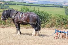 Shire horses ploughing. Shire horses plowing a field after harvest Royalty Free Stock Photos
