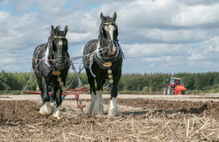 Shire horses ploughing at show Royalty Free Stock Photography