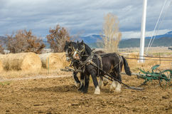 Shire Horses and Plow. Shire horses harnessed to an antique plow which is being used to farm a small plot of land Royalty Free Stock Image