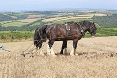 Shire horses ploughing. Shire horses plowing a field after harvest Stock Photography
