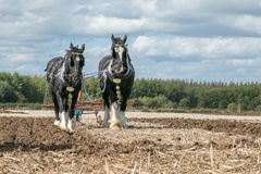 Shire horses at show Stock Photos