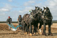 Shire horses at show Stock Images