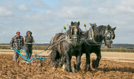 Shire horses at show Royalty Free Stock Photography