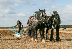 Shire horses at show Stock Image