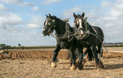 Shire horses at show Royalty Free Stock Images