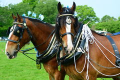 Shire horses. A team of Shire horses at a ploughing event Royalty Free Stock Images