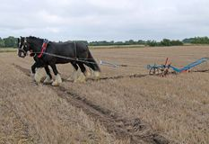 Shire Horses. Two Heavy Shire Horses Pulling a Hand Steered Plough Royalty Free Stock Photo