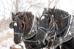 Shire horses in Winter snow. Portrait of two shire horse with riding tack pictured in Winter snow Royalty Free Stock Image