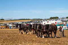Shire horses working at show ground Stock Photos