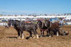 Shire horses working at show ground Stock Images