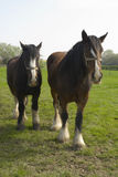 Shire_horses50 Royalty Free Stock Photography