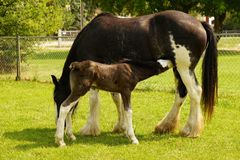Shire mare and colt Royalty Free Stock Photography