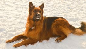 Shire shepherd true beauty Royalty Free Stock Images