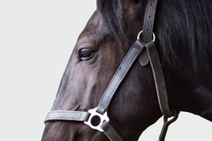 Shire stallion. On the grey background Royalty Free Stock Photos
