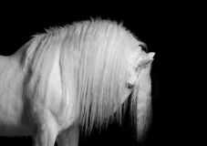 Shire stallion on black. Beautiful white shire stallion with long mane studio shot Royalty Free Stock Photography