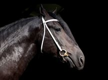 Shire stallion isolated on the black background. Shire horse isolated on the black background Stock Image