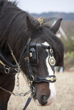 Shirehorse with plough. Shire Horse in the countryside with leather and brass harness, including blinkers Royalty Free Stock Images