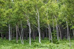 Shiretoko-Birken mit Sasa Bamboo Lizenzfreie Stockfotos