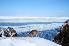 Shiretoko i vintern, Hokkaido, Japan Arkivbilder