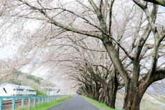 Branches of cherry trees bearing the pink blossoms and arching over the sidewalk along Shiroishi river banks like a tunnel of saku Royalty Free Stock Photos