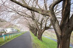 Branches of cherry trees bearing the pink blossoms and arching over the sidewalk along Shiroishi river banks like a tunnel of saku. Shiroishigawa riverShiroishi Stock Photo
