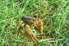 Shirokopalyj crayfish lat. Astacus astacus is a species of decapod crustacean of the infraorder Astacidea - in the grass. Stock Images