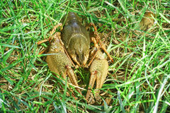 Shirokopalyj crayfish lat. Astacus astacus is a species of decapod crustacean of the infraorder Astacidea - on the green grass Stock Photos