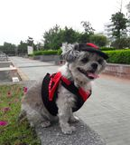 The dog in devil costume is traveling. Shishu cute dog in devil costume is traveling. It very funny Royalty Free Stock Images