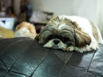 Dog shih Tzu love to relax. royalty free stock image