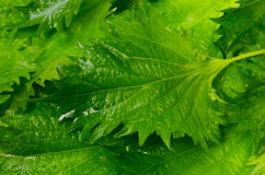 Shiso Royalty Free Stock Image