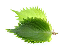 Shiso green leaf on white background. Stock Photography