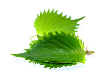 Shiso green leaf on white background. Royalty Free Stock Image