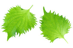 Shiso, Japanese Culinary Herb Royalty Free Stock Photo