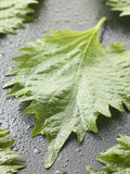 Shiso leaves Royalty Free Stock Image