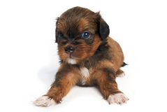 Shisu Puppy in isolated Stock Images