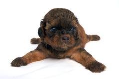 Shisu Puppy lying. Little Shihtzu puppy cute dog in isolated Stock Photos