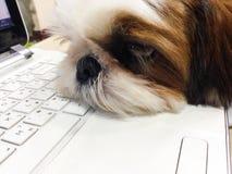 Shisu que agotaba por día ocupado puso su cabeza en el ordenador para descansar Fotografía de archivo