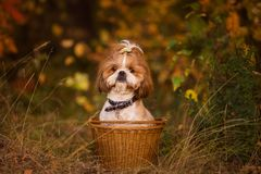 Cute puppy in a basket in the autumn forest. Shit zu cute puppy in a basket in the autumn forest royalty free stock photos