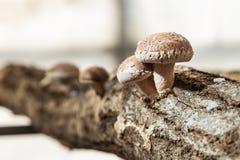 Shitake, японский гриб, который вырос на отрезанной древесине японский фермер Стоковое Изображение